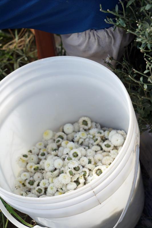 収穫された杭菊