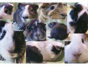 羽村市動物公園で「モルモット総選挙」に投票しよう!