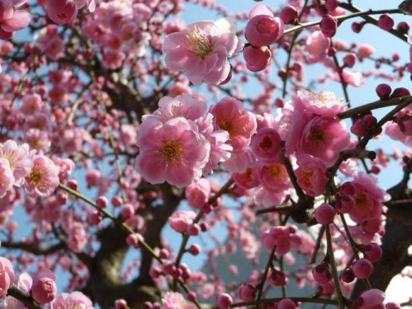 【2020年 大阪の観梅ガイド】梅をながめて心春めく一日を