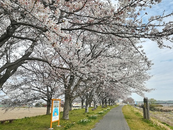 ぺんぺん草 の 桜の 花 が 咲き まし たよ